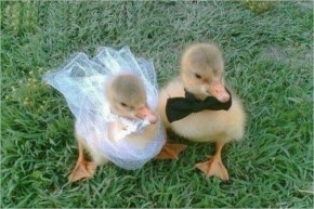 Funny Baby Ducks Getting Married
