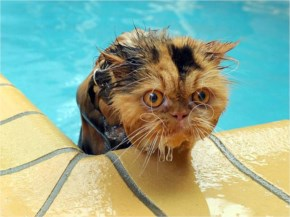 Funny Cats Swimming Cat Fetch Stick And Hot Swim