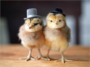 Funny Chicks Chickens With Hats Caps Pics