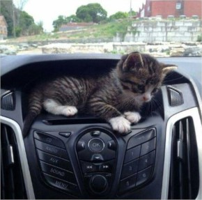 Funny Cute kitten Hide in the Car