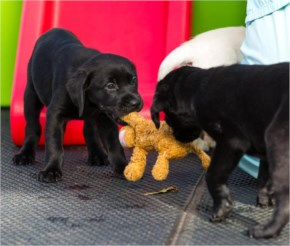 Funny cute puppies are having fun with toy