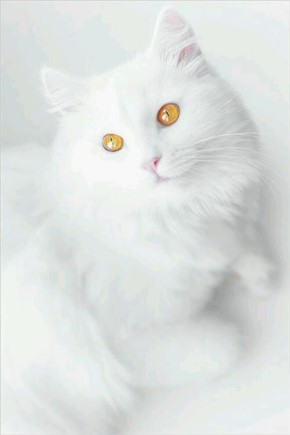 Funny Cute White Cat