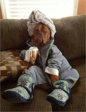 Funny dog fully dressed with a towel wrapped round their head drinking a cup of coffee