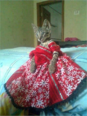 Funny Dressed Cat India