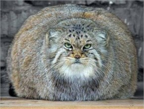 Funny Fat World's Biggest Cat Picture