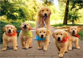 Funny Golden Retriever Dog Breed