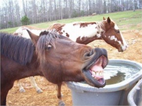 Funny Horse Laughing Its Stall Pictures And Stock Photos