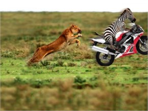 Funny Lion And Zebra Motor Cycle