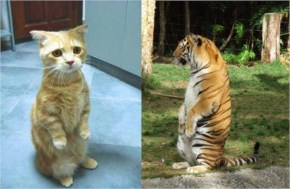 Funny Pictures....Standing Cats Are Amazing!