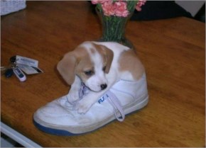 Funny puppy-i has a shoes