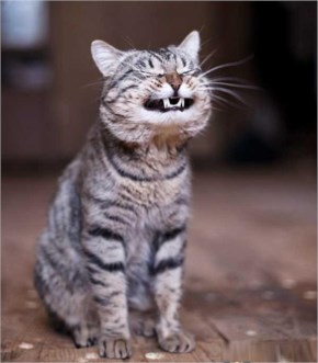 Funny Smiling Laughing Cat Pets Lol Cat Pics