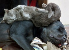 10 Cats Who use Dog as Pillow