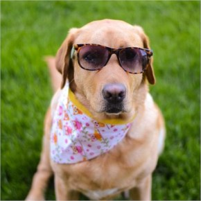 Gracie the Labrador stays cool as a cucumber with her sunglasses and bandana.