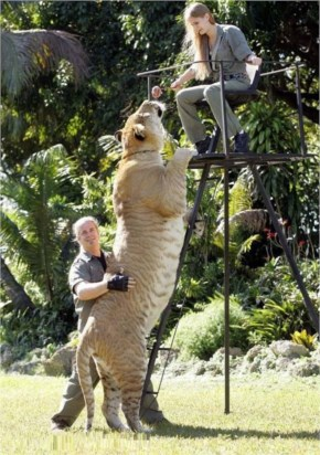 Hercules, 922-Pound Liger, Is The World's Largest Living Cat