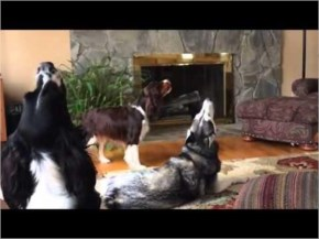 How a Husky Dealing With Stress?