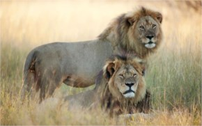 Illegal Killing of Cecil the 13-year-old lion who was a beloved celebrity at Zimbabwe's Hwange National Park