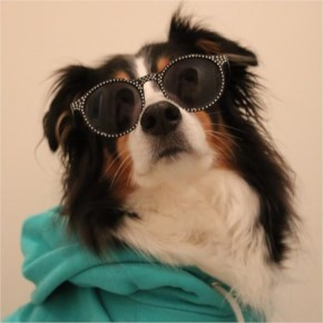 Kaya the Australian Shepherd A diva A rockstar A supergir A model