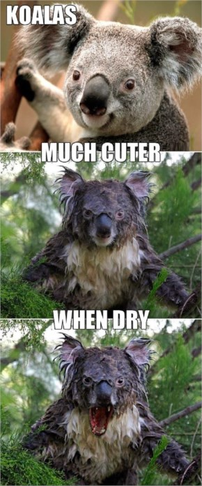 Koala Funny Bear Much Cuter When Dry By Nick...Little Fun