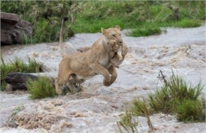 Lioness saves her cub from flood waters