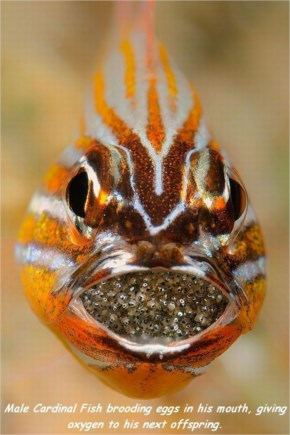 Male Cardinal Fish Brooding Eggs In His Mouth, Giving Oxygen To His Next Offspring