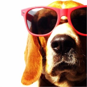 Maximilian the Beagle's swag is right up in your face. Can you bear it (We can't!)