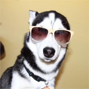 "Miles the Husky asks, ""Iz dis cool….or nahh"""
