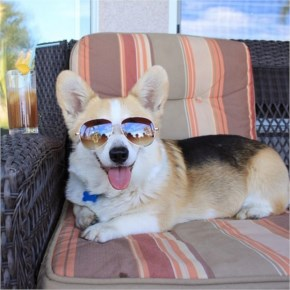 Napolean the Corgi brings reflections of sunny southern California to you all with his sweet shades.