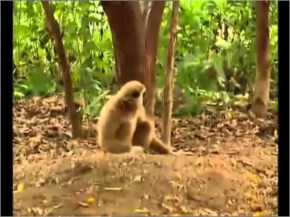 Naughty Monkey Bullies Tiger Cubs - laughspark