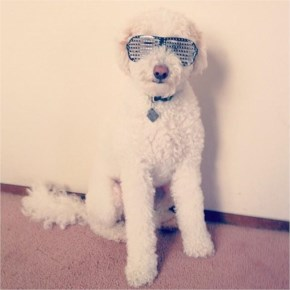 Oscar the golden doodle's blinged out shutter shades put Kanye Wests' to shame