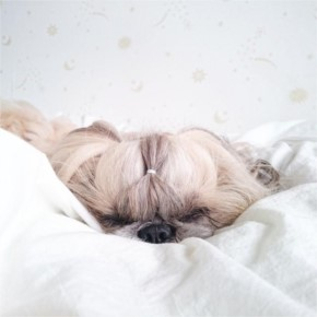 Pekingese Dog with a Silky Hairstyles