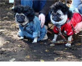 Sad Pugs In Costumes...Funny Picture