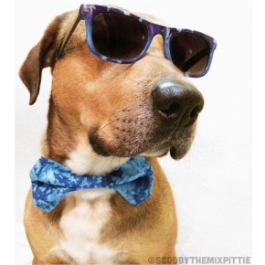 "Scooby the Pittie Mix says, ""Don't mind me, I'm just here being cool."""