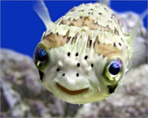 The 25 Happiest Animals In The World- 20 Puffer Fish