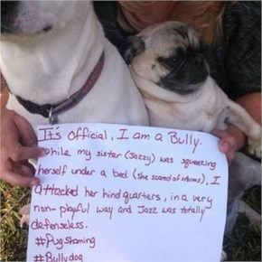 17 Naughty Pugs Who Got Shamed By Their Owners