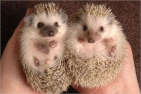 Top 10 Cutest Animals In The World 2014- 2 African Pygmy Hedgehog