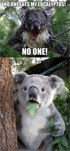 Whatever You Do.. Don't Miss With This Angry Koala..