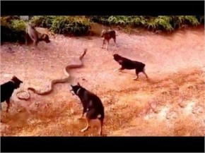 Image of: Most Viral Whatsapp Funny Viral Videos 2016 2015 Dogs Attack King Cobra Viral Youtube Funny Video How Cow Gone Mad After Two Bikers