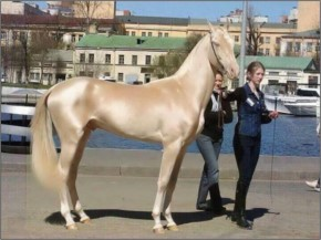 World Most Beautiful Horse,Turkey...So Is The Owner