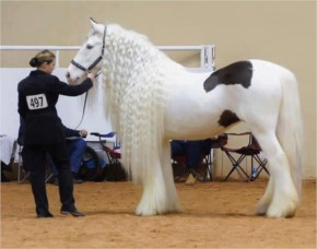 World's most beautiful horse with Curly hairs