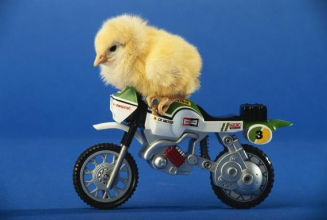 Baby Chicken Quotes: Cute Baby Bird Riding A Bike