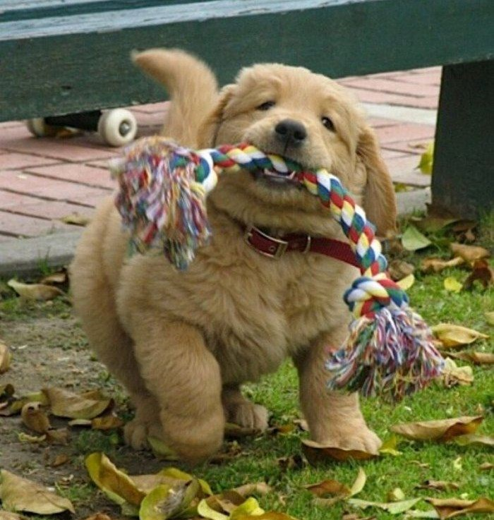Cute Naughty Puppy Running With Stuff In Mouth