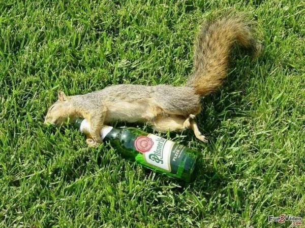 Drunk squirrel funny wallpapers - Funny squirrel backgrounds ...