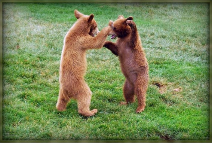 funny animal photos dancing baby black bears