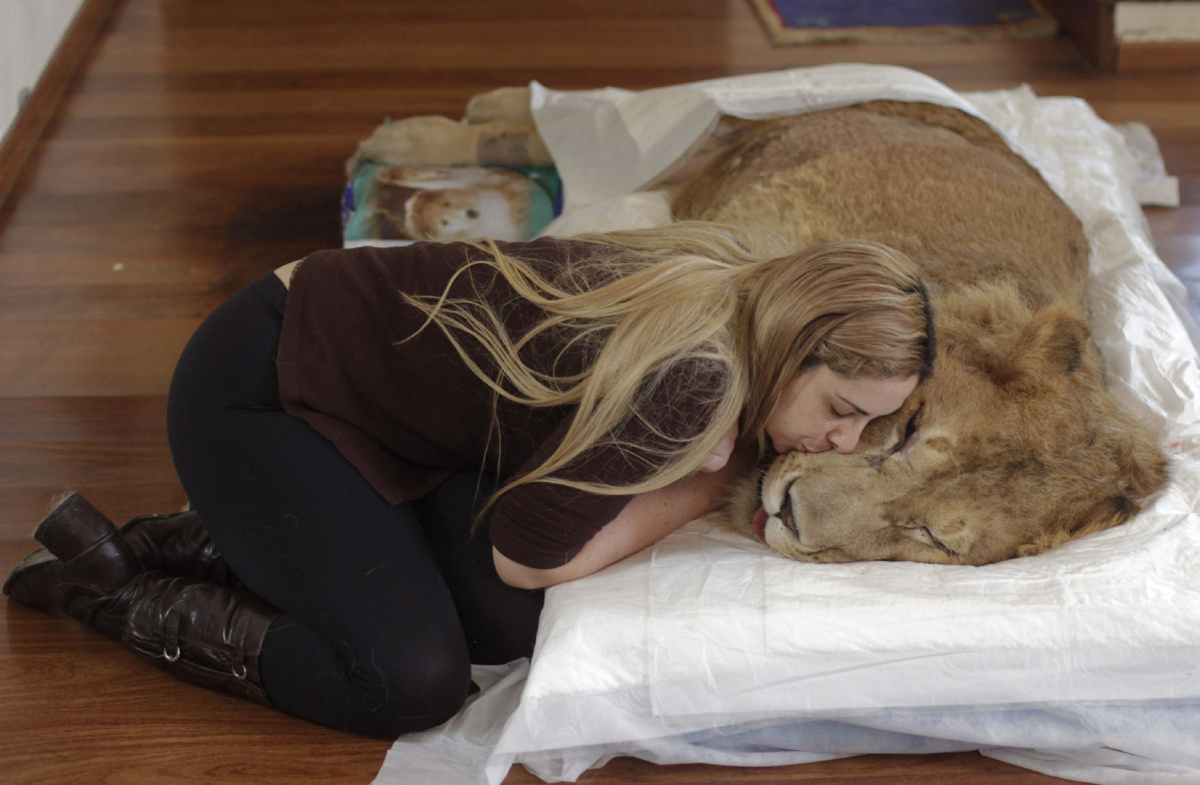 wild animals but also have friends and they love them,Loving: Vet Livia Pereira kisses paralysed lion Ariel who had lost the use of his legs