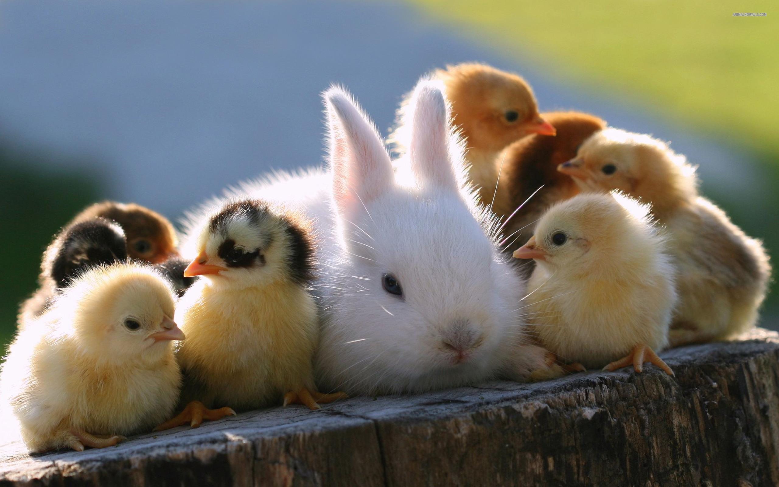 baby chicks and rabbit are so cute animals