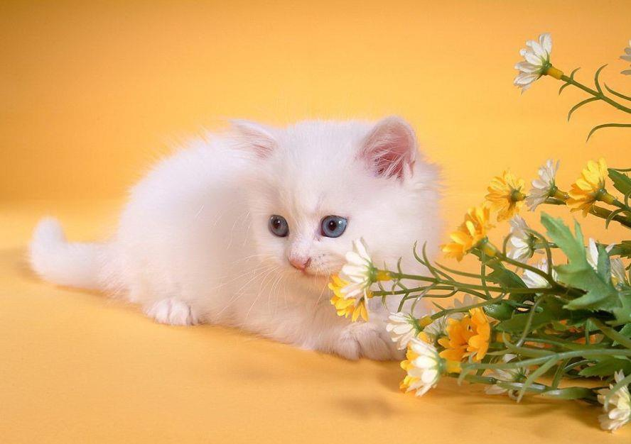 Beautiful White Cute Cat Wallpaper