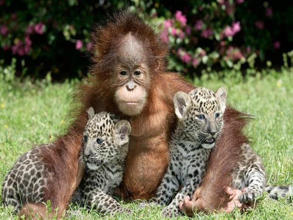 cute animals monkey and cheetahs funny fowl pictures