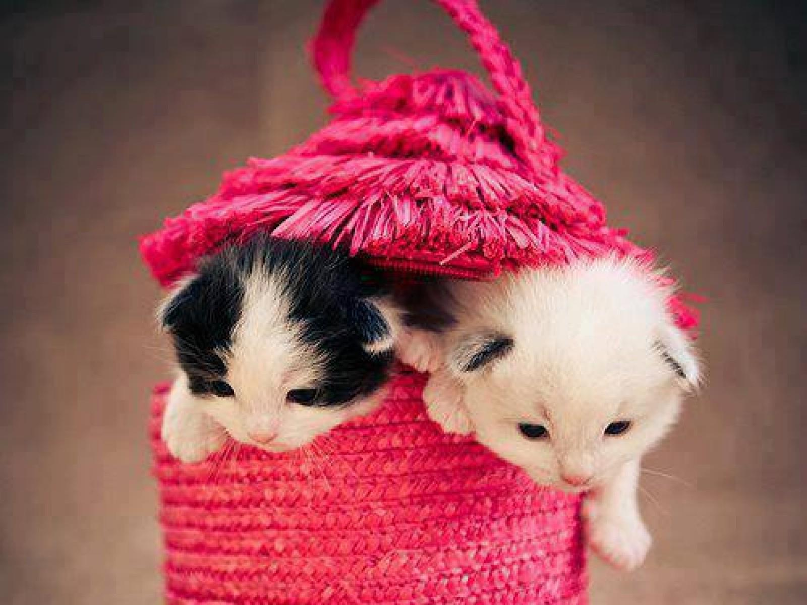 Cute Cat kitten image In pink beg