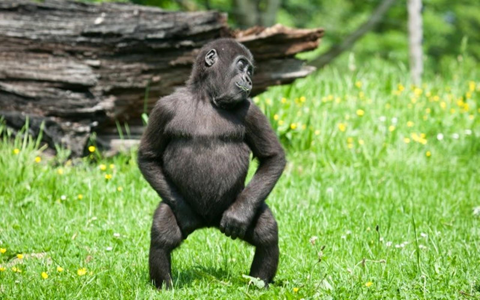 Image of: Top 200 Dancing Monkey Very Funny Picture 2014 Zoom Zoom Laughspark Dancing Monkey Very Funny Picture 2014