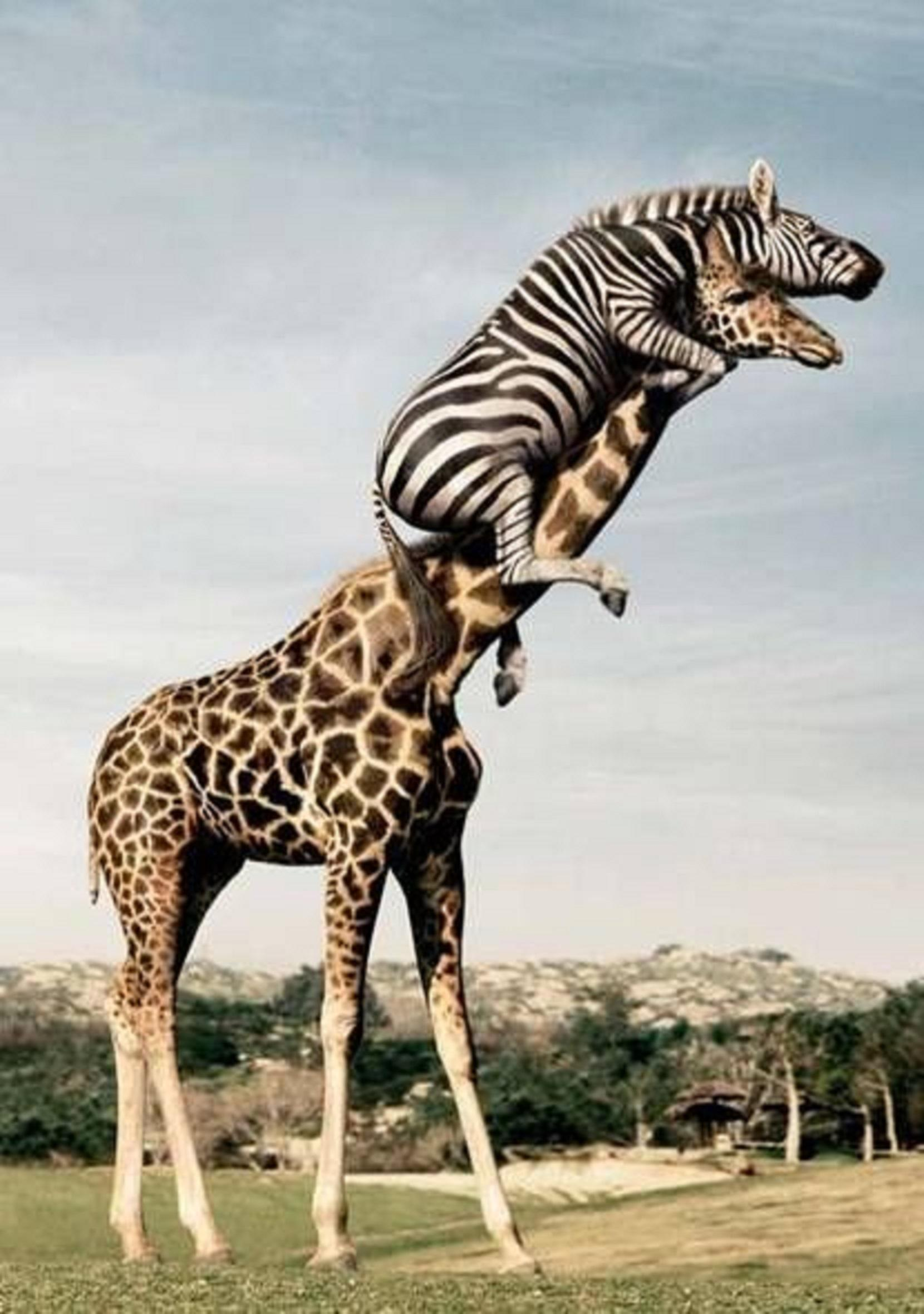 Funny Sporting Zebra And Ziraffe Animal Photo